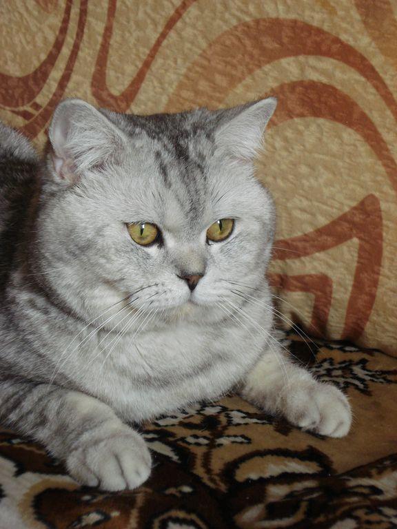 Кот норман